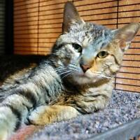 "Young Male Cat - Tabby: ""Felix"""
