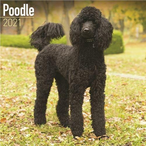 Poodle+2021+Calendar+Official+Square+Wall+Calendar