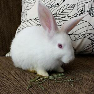 "Young Female Rabbit - New Zealand: ""Luna"""