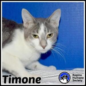 """Young Male Cat - Domestic Short Hair: """"Timone"""""""