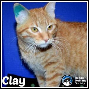 """Young Male Cat - Domestic Short Hair: """"Clay*"""""""