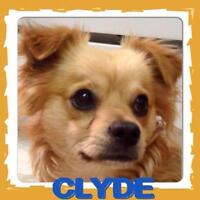 """Baby Male Dog - Pomeranian-Chihuahua: """"Clyde"""""""