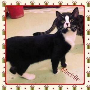 "Young Male Cat - Domestic Short Hair: ""Maddie"""