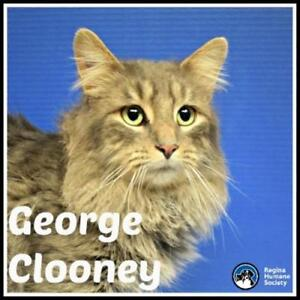 "Adult Male Cat - Domestic Medium Hair: ""George Clooney*"""