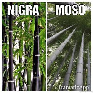 Bamboo raccolta x 20 semi phyllostachys nigra nero for Vendita piante bambu gigante