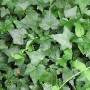 Climbing Plants Evergreen