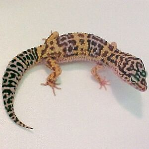 Fancy leopard gecko price dropped