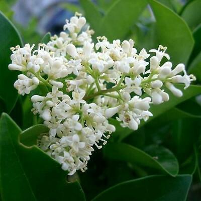 Bonsai Ligustrum japonicum - Aligustre del Japón 40 semillas