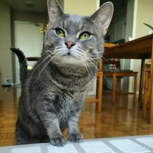 "Young Female Cat - Domestic Short Hair-Tabby - Grey: ""Sandy"""