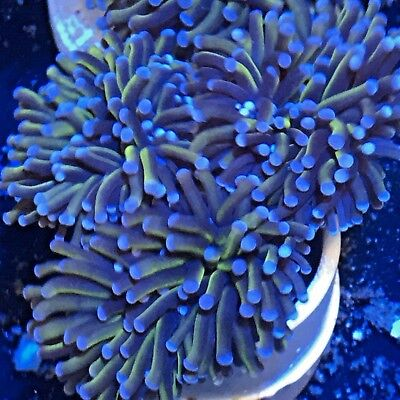 """Australian Gold Torch Coral 3-Lg Head Opens to 6"""" WYSIWYG Collector's Live Coral"""