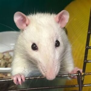 """Young Male Small & Furry - Rat: """"Knox"""""""