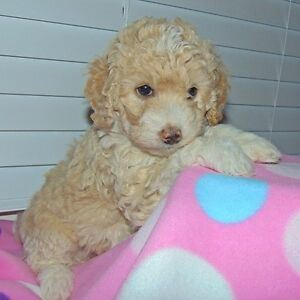 Mini F1B Goldendoodles