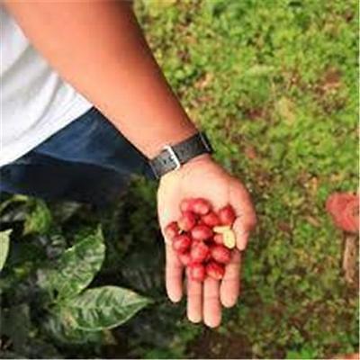 Guatemalan Genuine Antigua Fresh Roasted Coffee Beans Single American Origin