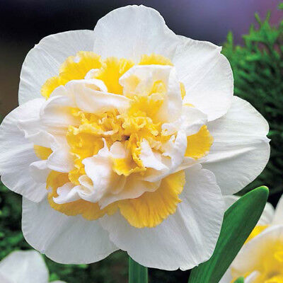 25KG (Approx) x Daffodil White Lion Pretty White/Yellow Flower Bulbs Narcissus