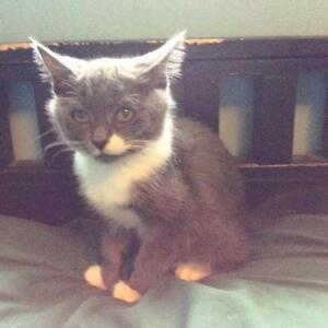 """Baby Female Cat - Domestic Short Hair - gray and white: """"Athena"""""""
