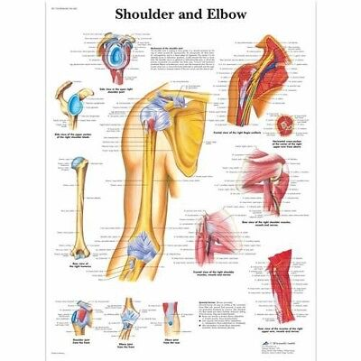 Shoulder And Elbow - Orthopedics Anatomy Poster Anatomical Chart Company