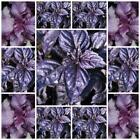 Basil Ocimum Herb Seeds