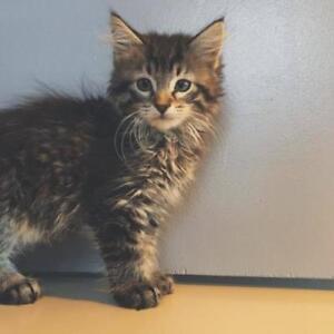 "Baby Female Cat - Domestic Medium Hair: ""Cupcake"""