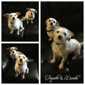 "Adult Female Dog - Terrier-Chihuahua: ""Taquito & Dorito"""
