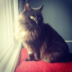 "Adult Male Cat - Domestic Long Hair-black: ""Grizz"""