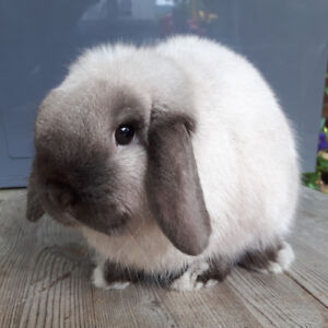 Sable Point Holland Lop Buck