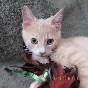 "Baby Male Cat - Domestic Short Hair: ""Finn"" Cambridge Kitchener Area image 1"