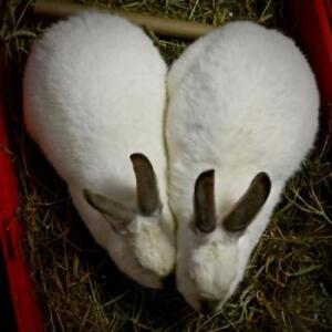 """Adult Male Rabbit - Californian: """"Hopper And Louise"""""""