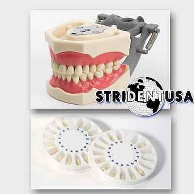 Dental Typodont Om 860 Teaching Model With Extra Set Of Teeth 64 Total Teeth