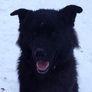 "Young Male Dog - Newfoundland Dog-Husky: ""Spock"""
