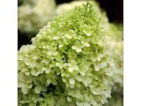 Limelight Green Hydrangea Plugs