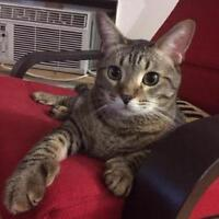 """Adult Male Cat - Tabby - Brown: """"Miles *Declawed"""""""