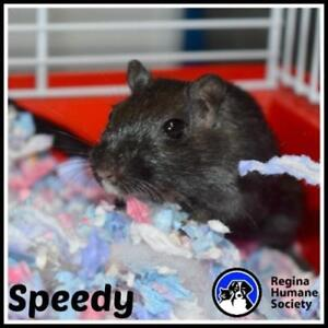 "Adult Male Small & Furry - Gerbil: ""Speedy*"""