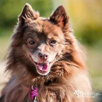 "Senior Male Dog - Pomeranian: ""Danny (Denzel)"""