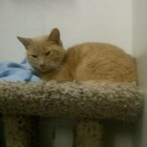 "Adult Male Cat - Domestic Short Hair: ""Owen"""