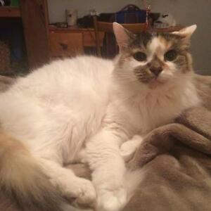 "Senior Female Cat - Domestic Medium Hair: ""Ellie"""