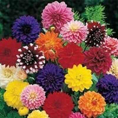 20+ DINNER PLATE DAHLIA MIX FLOWER SEEDS / EARLY BLOOMING BI-COLORS AND - Dinner Mix