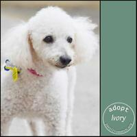 "Senior Female Dog - Poodle: ""Ivory"""
