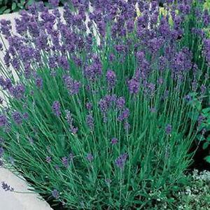 Lavender 'Munstead Dwarf' Seeds (100) Hardy Shrub