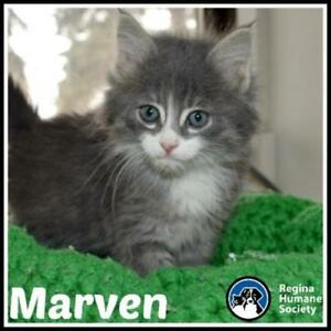 "Baby Male Cat - Domestic Medium Hair: ""Marven*"""