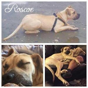 """Young Male Dog - Pit Bull Terrier: """"Roscoe"""""""