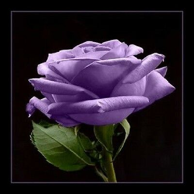 5 Purple Rose Rosa Bush Shrub Perennial Flower Seeds   Gift   Comb S H