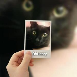 "Baby Male Cat - Domestic Short Hair-black: ""Oh Henry"""