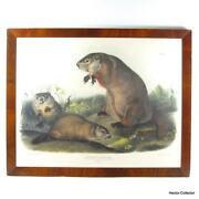 Framed Audubon Print