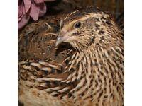 Brown Japanese Coturnix quails