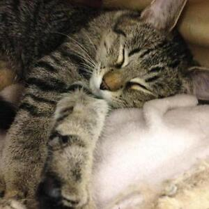 """Baby Male Cat - Tabby - Grey: """"Banjo 1 at Woofy's in Comox"""""""