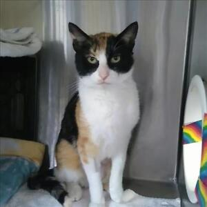 "Young Female Cat - Domestic Short Hair: ""Polly"""
