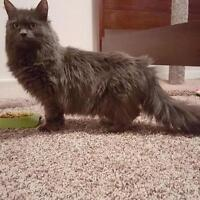 "Adult Female Cat - Domestic Long Hair: ""Cricket"""