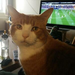 """Adult Male Cat - Domestic Short Hair - orange and white: """"Percy"""""""