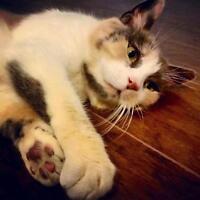 """Adult Female Cat - Dilute Calico: """"Matilda"""""""