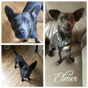 "Young Male Dog - Chihuahua-Corgi: ""Elmer"""